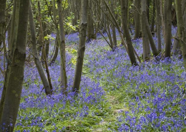 bluebell-wood1