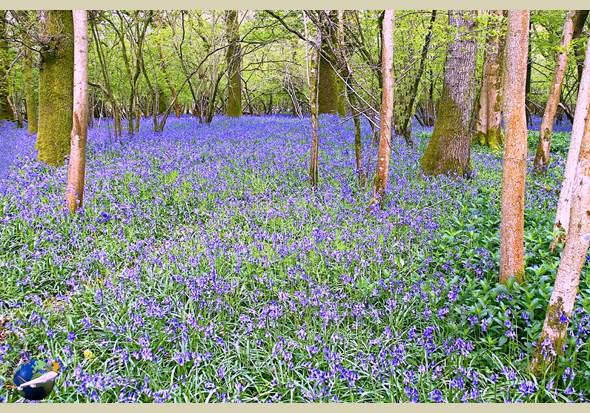 woodland trust bluebells