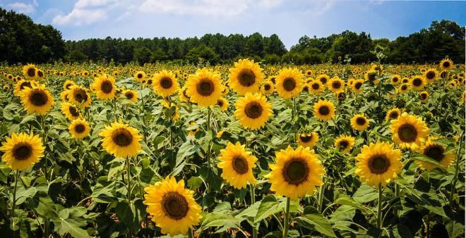 field-of-sunflowers-penny-lisowski