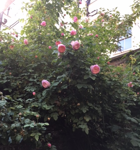 roses one