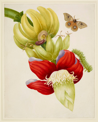 maria-sibylla-merian-branch-of-banana-with-bullseye-moth